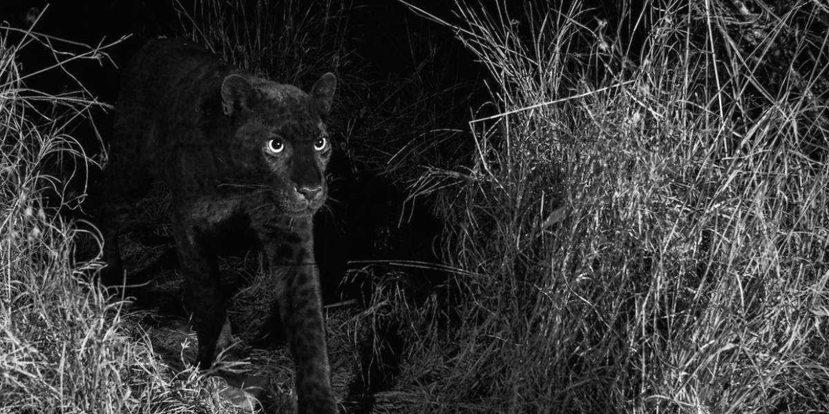 Inédito: Logran fotografiar a una pantera negra africana luego de 100 años