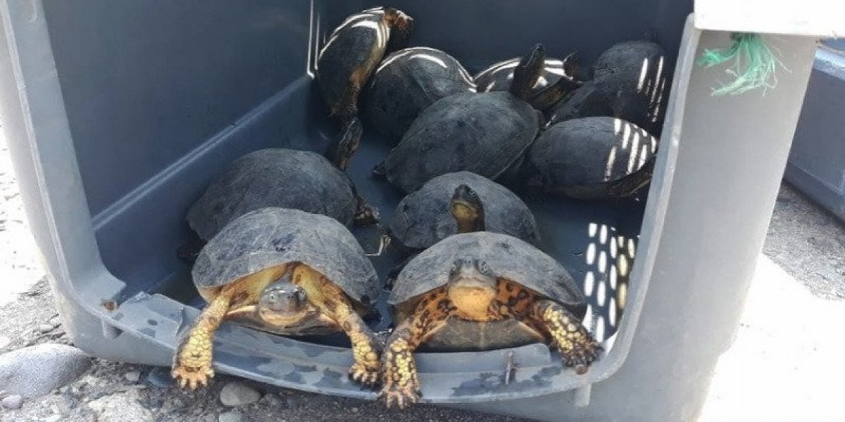 38 tortugas se encontraron ilegalmente en un bus interprovincial en Esmeraldas