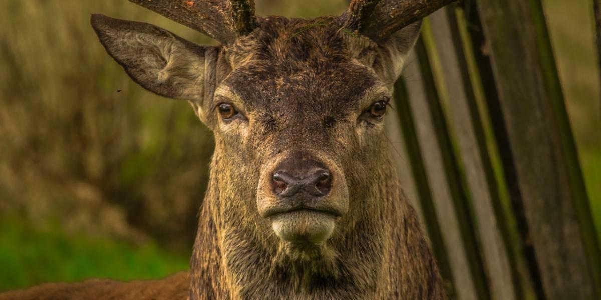 Casos de 'cervos zumbis' deixam EUA em alerta; doença pode contagiar humanos