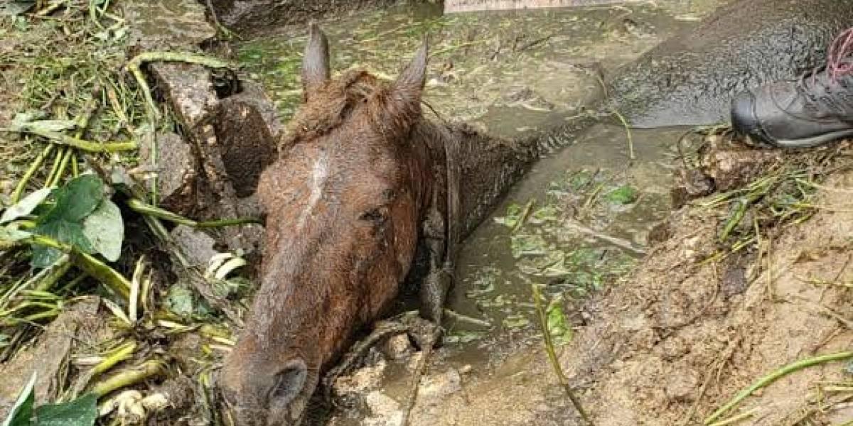 Caballo cae dentro de pozo séptico en Caguas