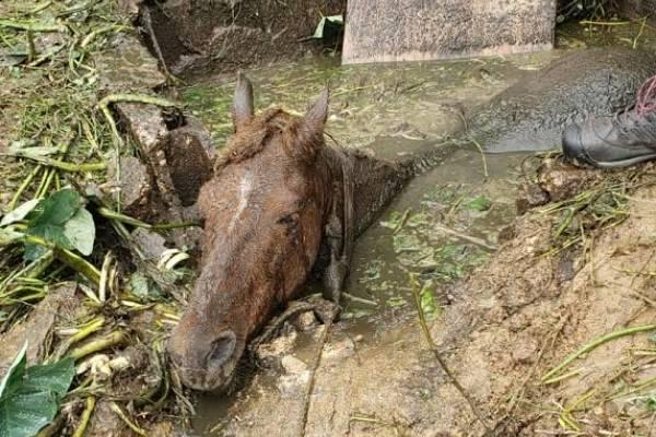 caballo cae en pozo