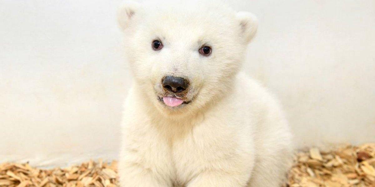 Osita polar aparece en público luego de su primer examen médico