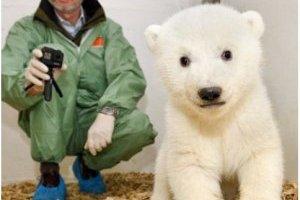 osito polar recién nacido