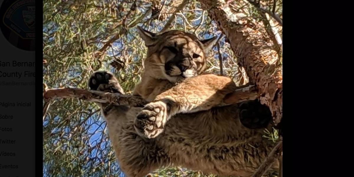 Bombeiro vai resgatar gatinho e se depara com leão em árvore