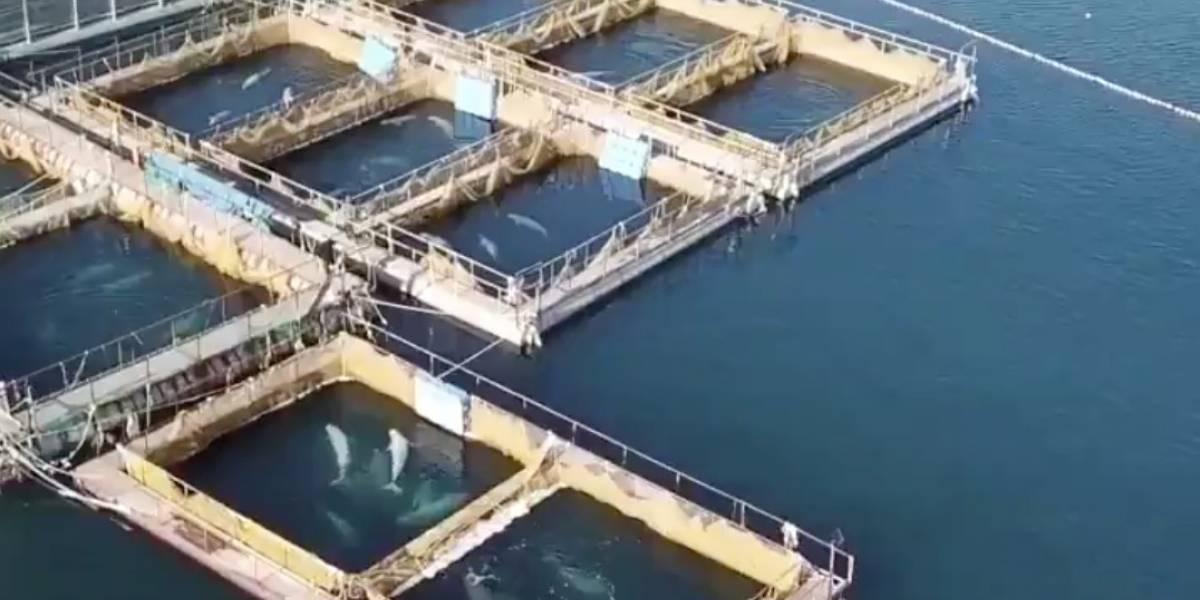 """La cruel """"cárcel para ballenas"""": cerca de cien belugas y orcas pueden morir congeladas en Rusia"""