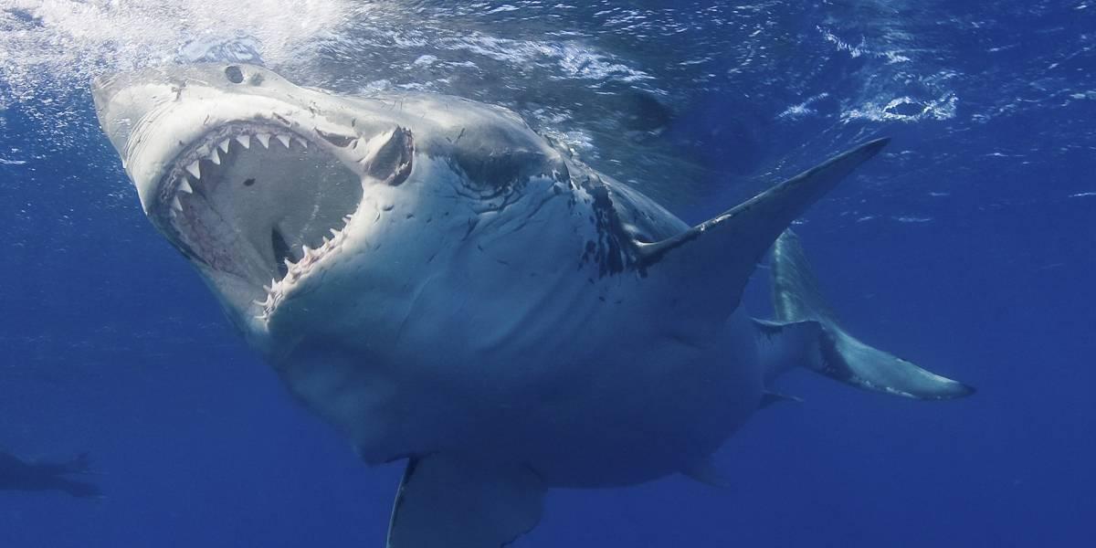 ¡Hito! Científicos logran decodificar el genoma del tiburón blanco y podría ser relevante para tratar el cáncer