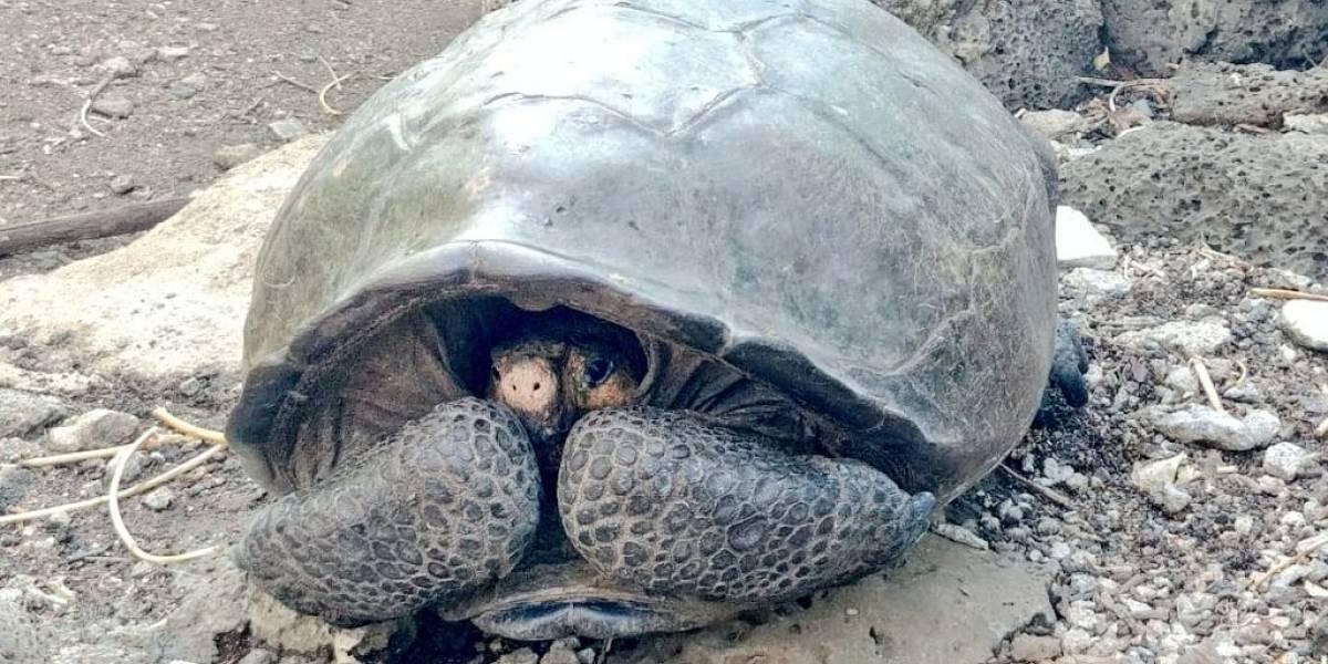 Hallan tortuga cuya especie se creía extinta en Galápagos