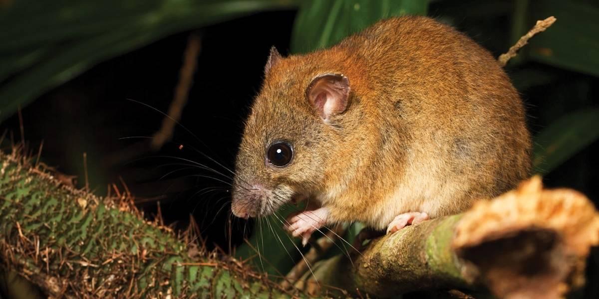 Melomys: El primer animal del mundo extinto a causa del cambio climático