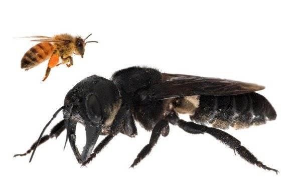 Conmoción en Indonesia por el hallazgo de una abeja gigante (+fotos)