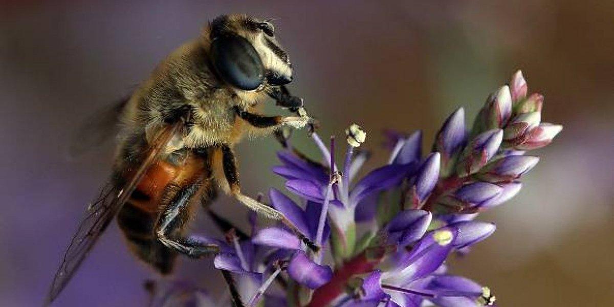 [Fotos] Megachile: Encuentran viva a la abeja más grande del mundo
