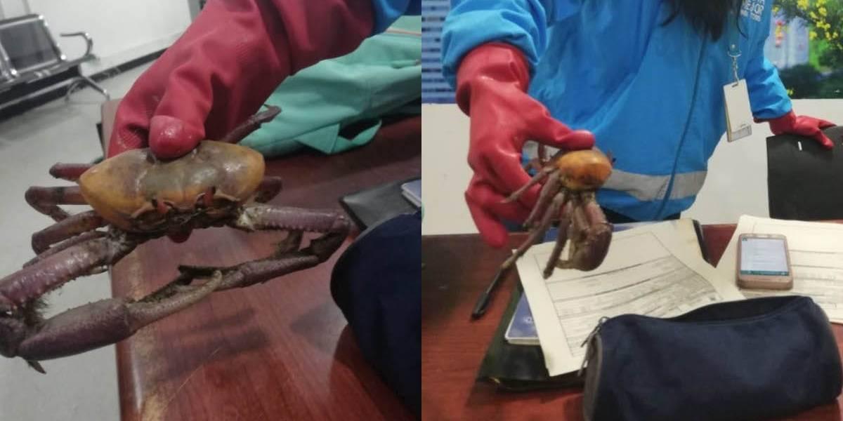 ¡Insólito! Ecuatoriana intentó ingresar una docena de cangrejos rojos de manglar a Estados Unidos