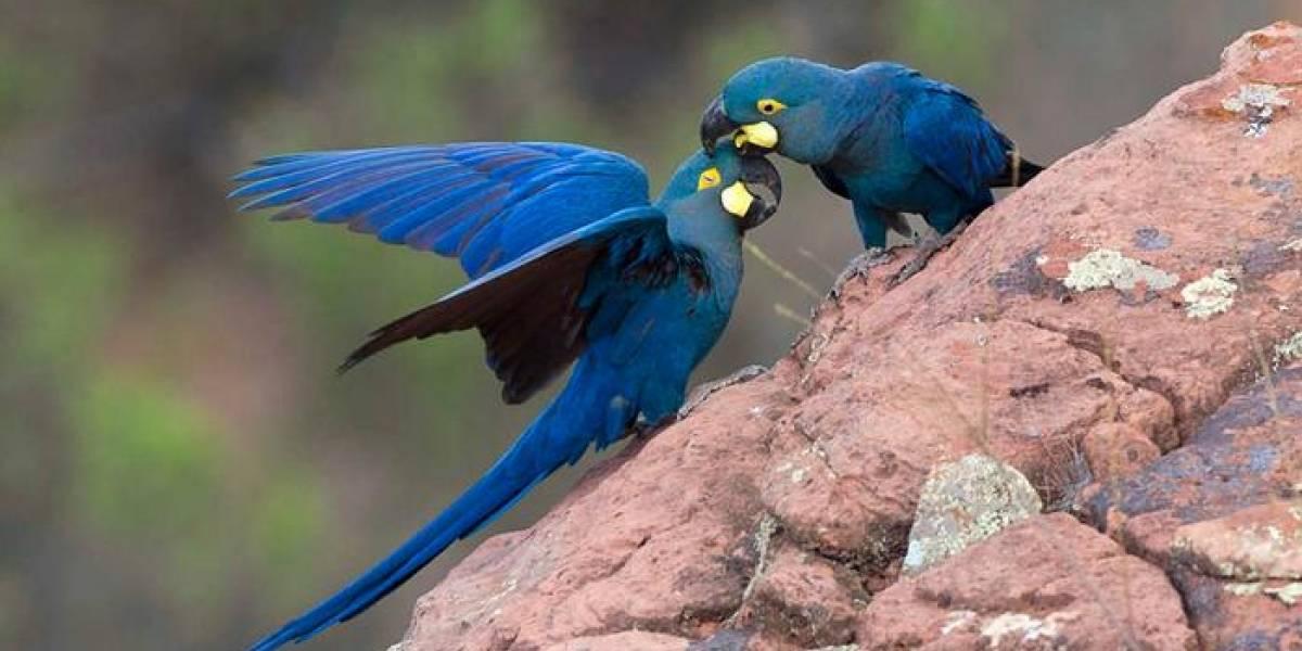 À beira da extinção, filhotes de arara-azul-de-lear nascem em zoológico paulista