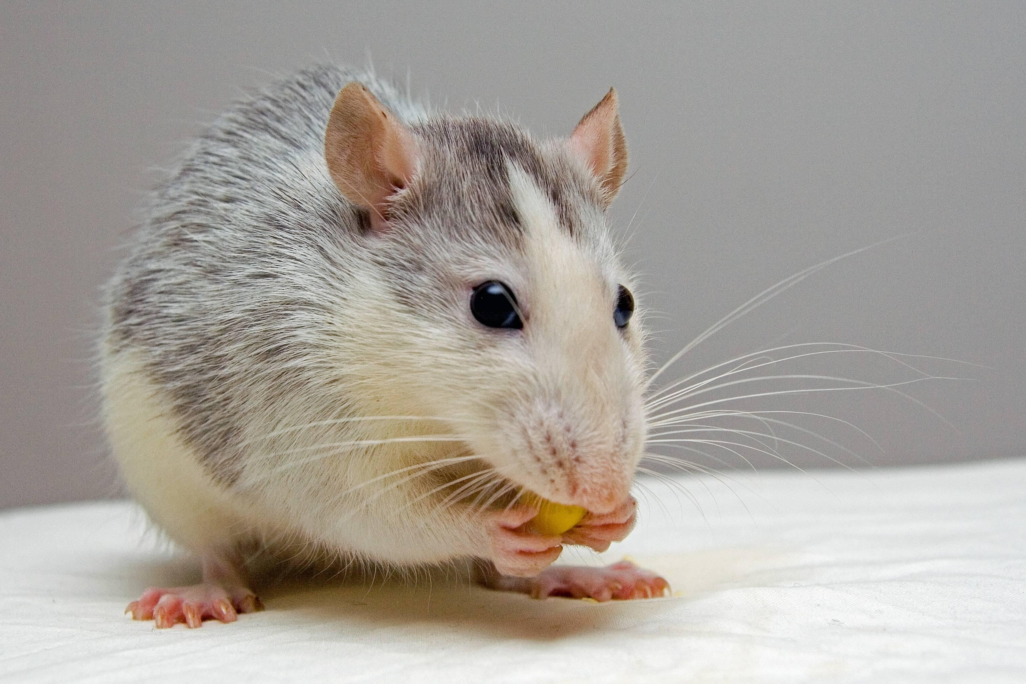 Científicos provocaron la regeneración de los dientes de un grupo de ratones que los habían perdido