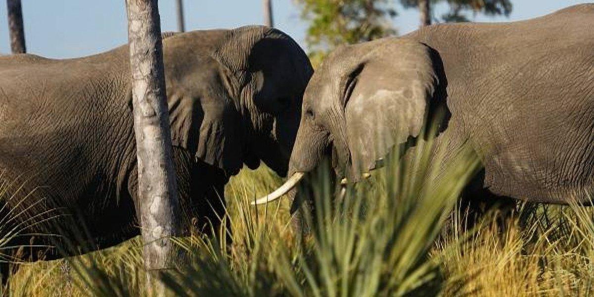 """Alerta en la comunidad internacional: Botswana estudia permitir la caza de elefantes porque """"tienen muchos"""""""
