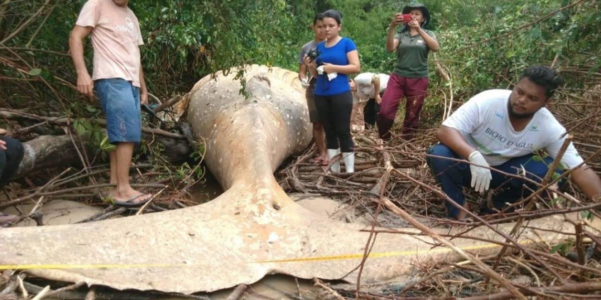 El misterio que desconcierta al mundo: ¿Cómo una ballena de ocho metros de largo terminó en plena selva amazónica brasileña?