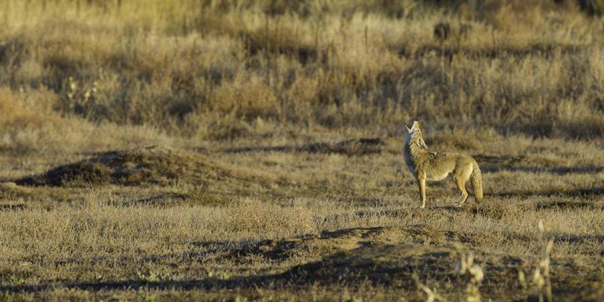 Encuentran a 73 coyotes muertos en Carolina del Norte