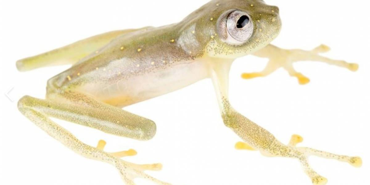 La Rana de Cristal, nueva especie descubierta en Ecuador