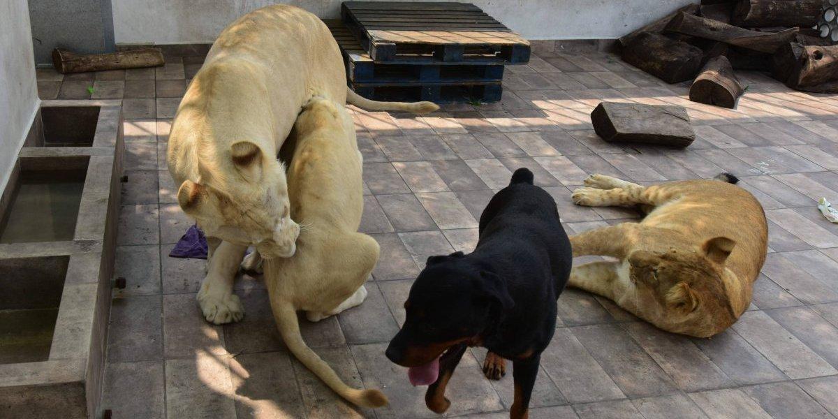 Rescata Profepa a leones que vivían en un domicilio de la CDMX