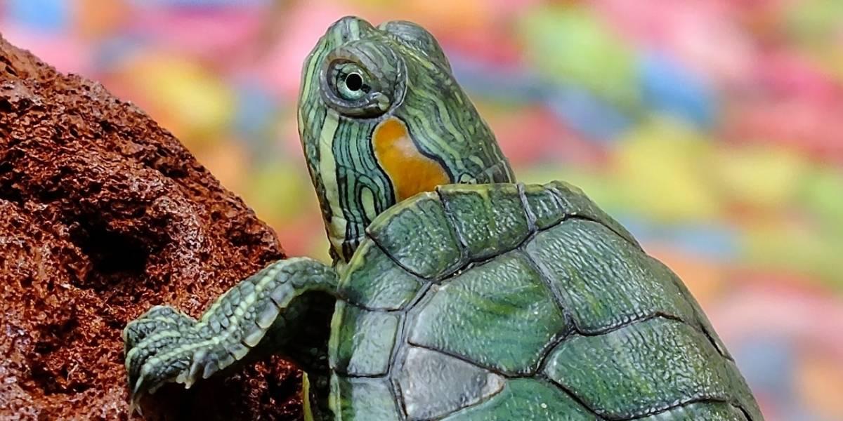 Las tortugas que tenías de niño se volvieron una plaga en México