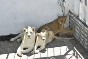 Aseguramiento de leones