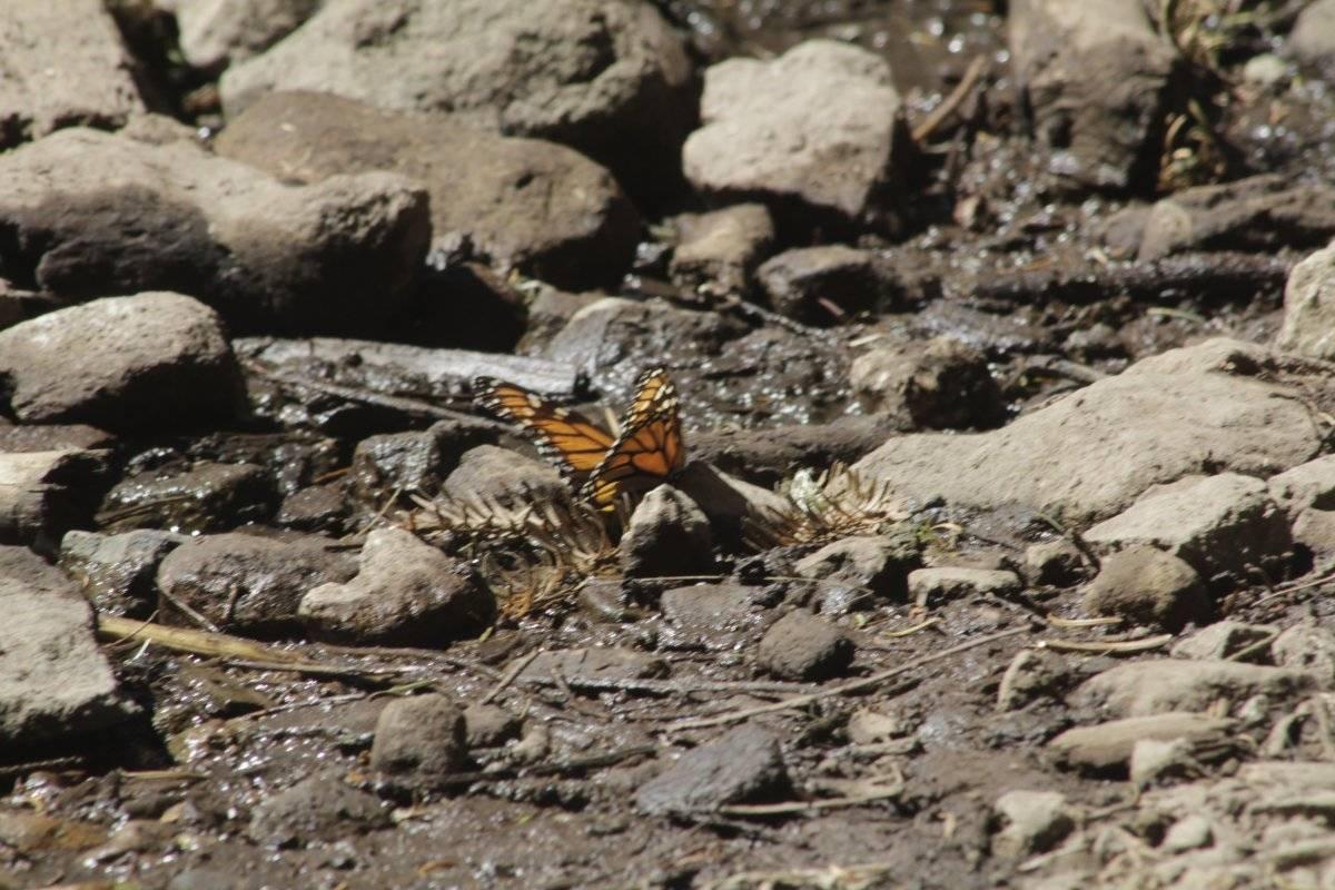 La mariposa monarca, suele relacionarse con la tradición del día de muertos por su fecha de llegada Fotografía de Daniel Guzmán