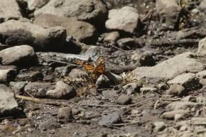 Mariposa Monarca posa en un arrollo