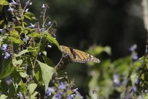 Los lepidópteros