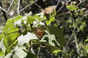 Mariposa Monarca posa en una planta