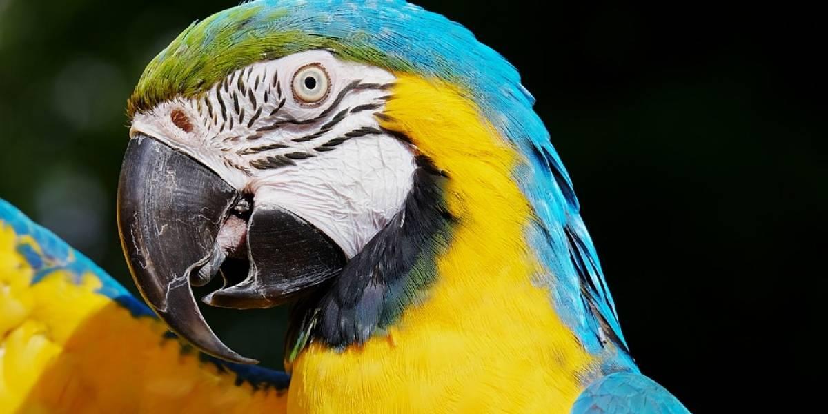 Papagaios viciados em ópio estão destruindo fazendas na Índia
