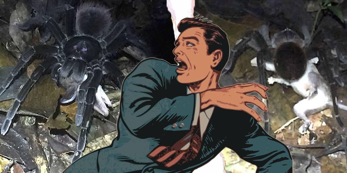 Terror viral: tarántula del tamaño de un plato mata a una zarigüeya