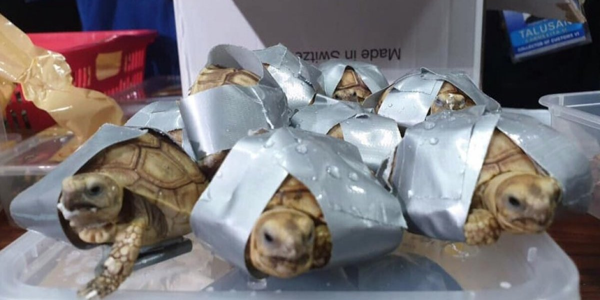 Encuentran 1.529 tortugas exóticas en maletas