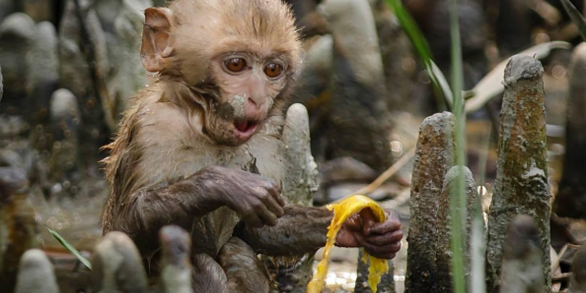 Se ven adorables pero no lo son: una manada de monos persiguió y provocó la muerte de dos personas en India
