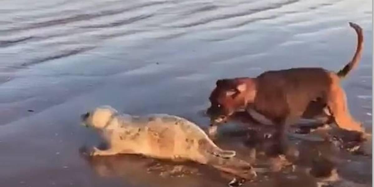 Graban a un perro atacando a una foca en la playa mientras que su dueña no hace nada para detenerlo pese las súplicas de los testigos