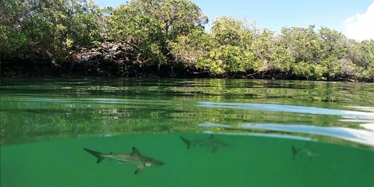 Se descubre nueva área de crianza de tiburones martillo en las Islas Galápagos
