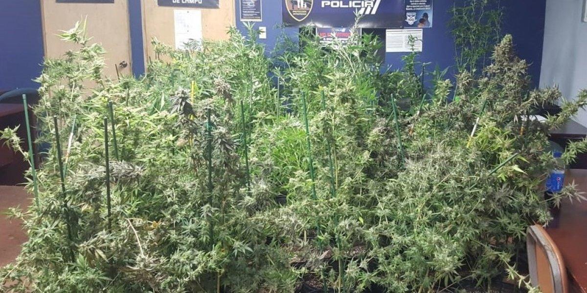 Ocupan más de 100 plantas de marihuana en Río Grande