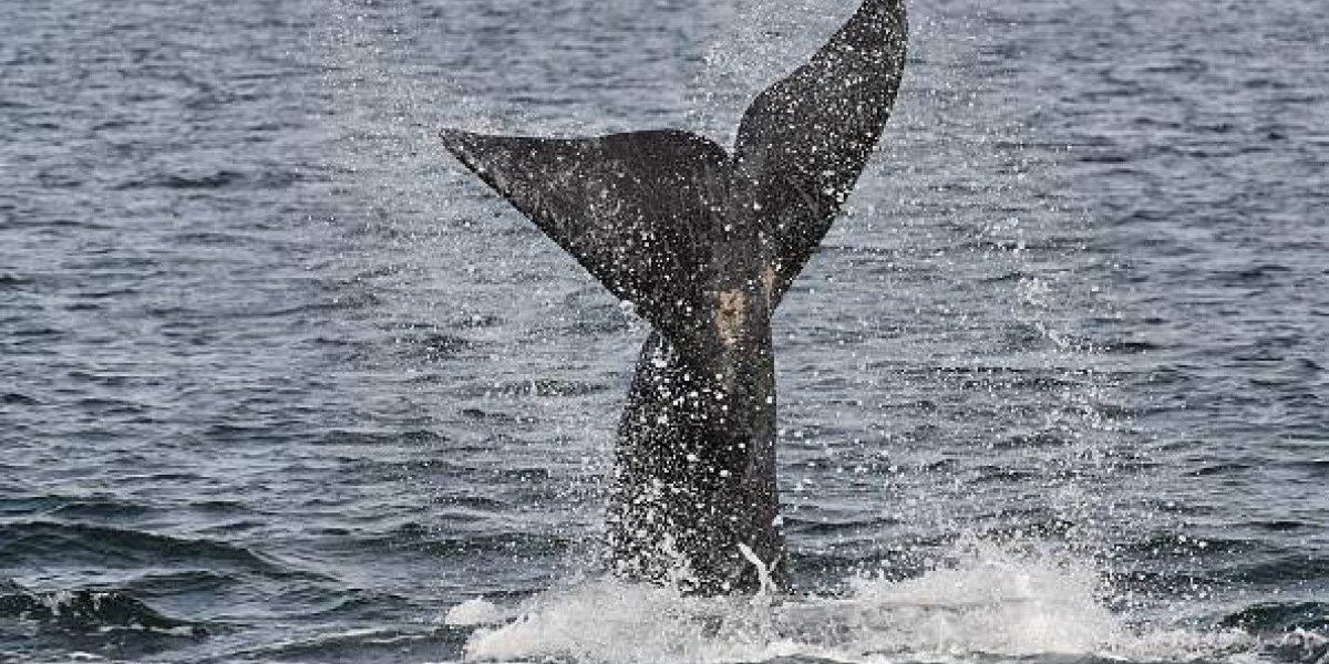 """""""Fue una experiencia interesante"""": la increíble historia de la ballena que se tragó a un buzo y después lo escupió"""