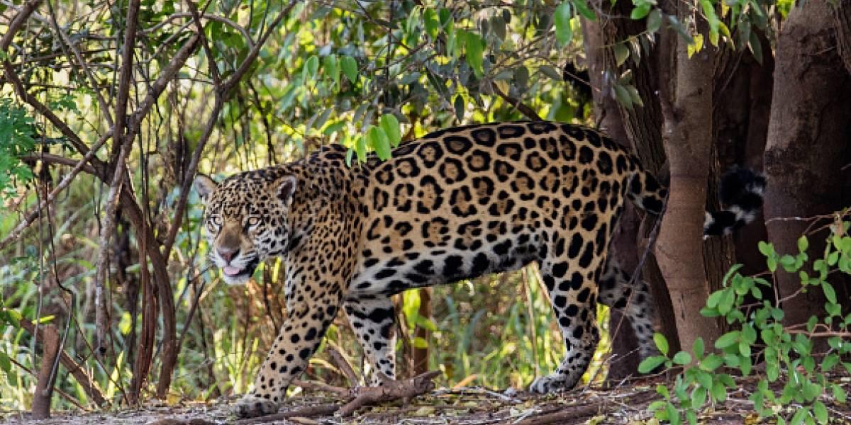 Mujer es atacada por jaguar tras saltar valla para sacarse una selfie: zoológico rechaza sacrificar al animal y culpa a la invasora