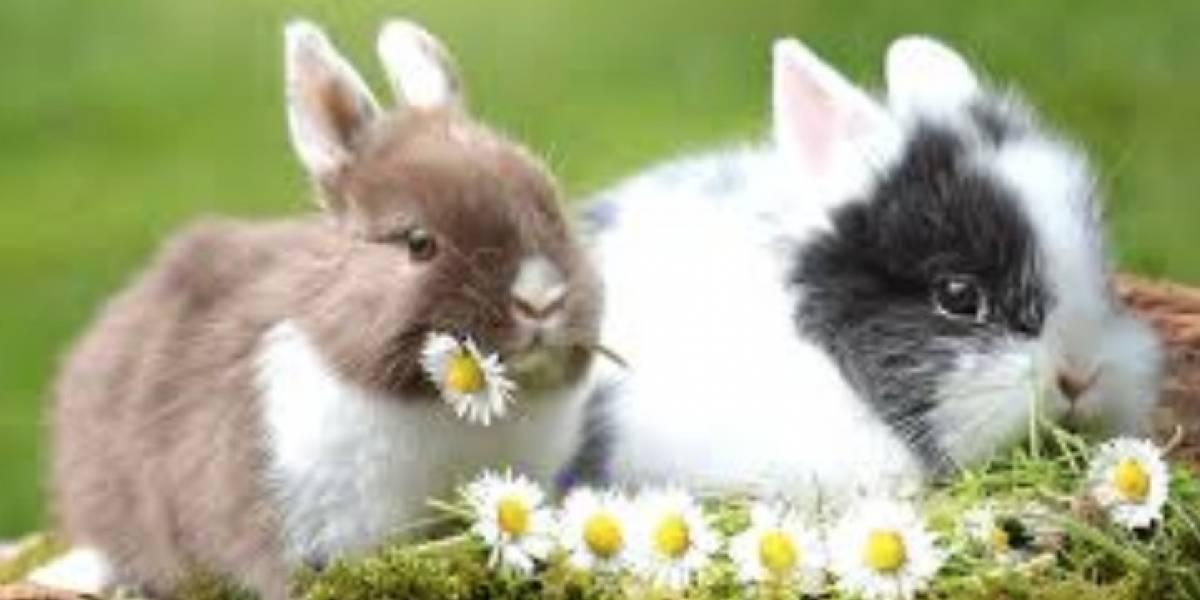 Chi cheñol: La UNAM dejará de realizar practicas de cirugías con conejos