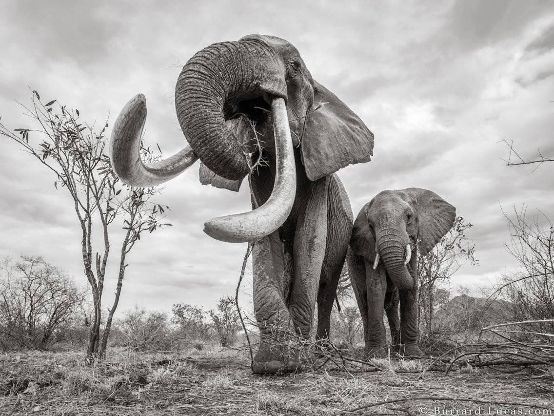 Reina Elefante