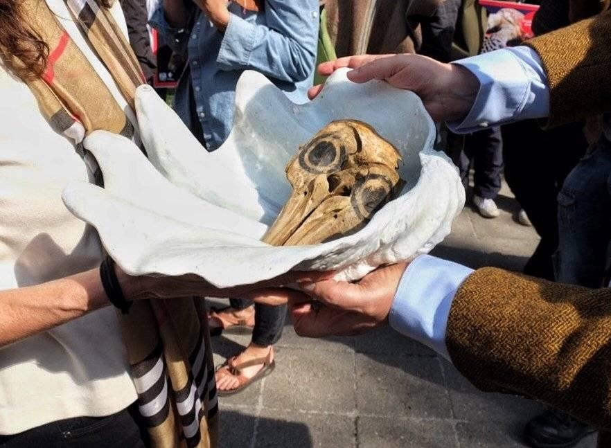 Cráneo de una vaquita marina Foto: Cuartoscuro