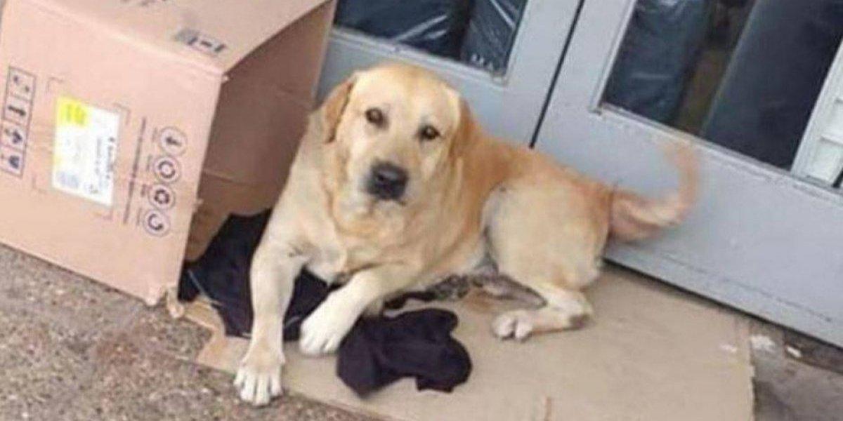 Labrador espera a dueño afuera de hospital, pero no sabe que murió