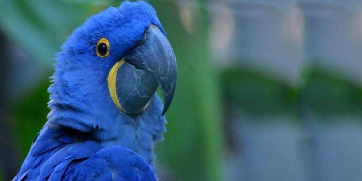 Guacamayo azul de la película Río se creía extinto y ha nacido una nueva cría