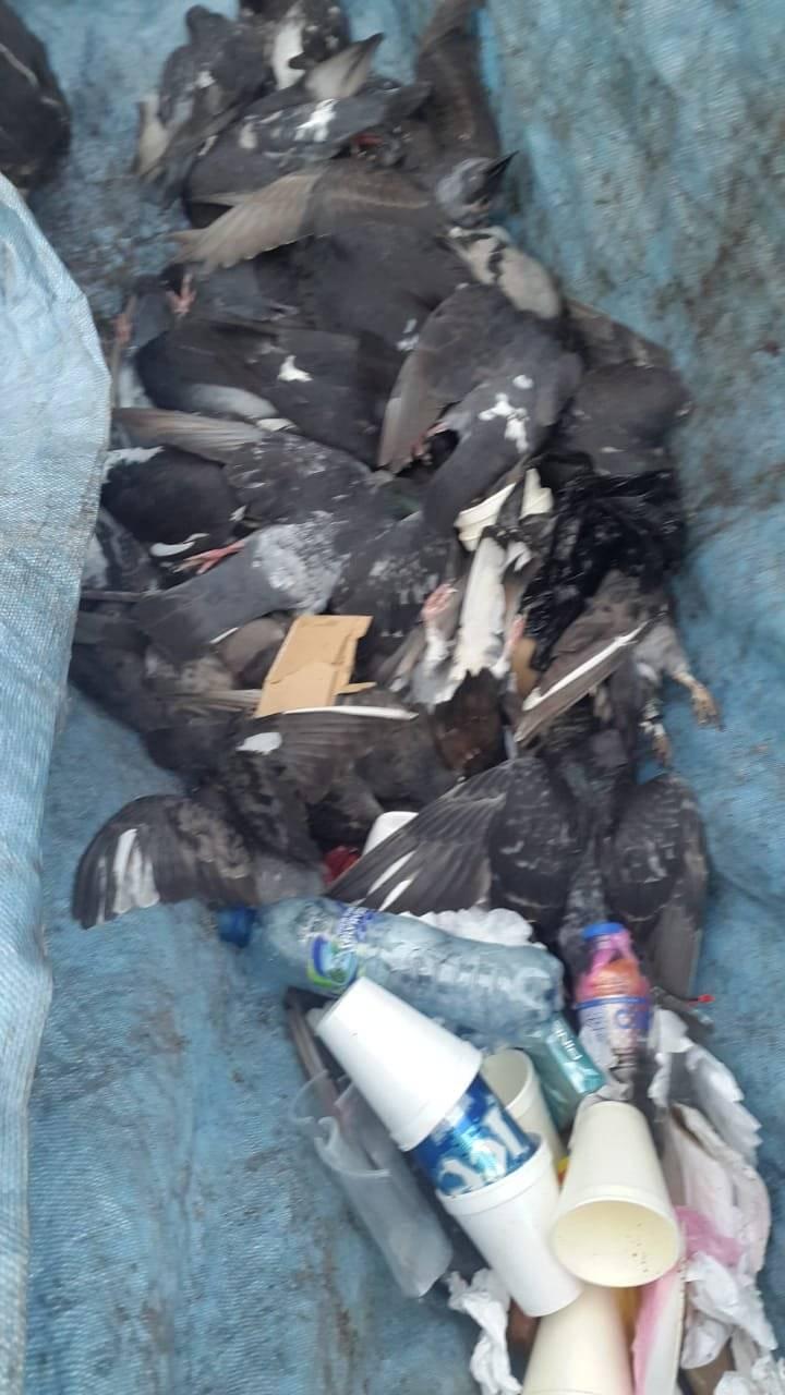 Envenenan a las palomas de la Catedral Metropolitana. Foto: Donald González