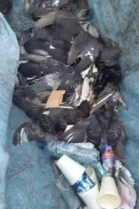 Envenenan a las palomas de la Catedral Metropolitana.