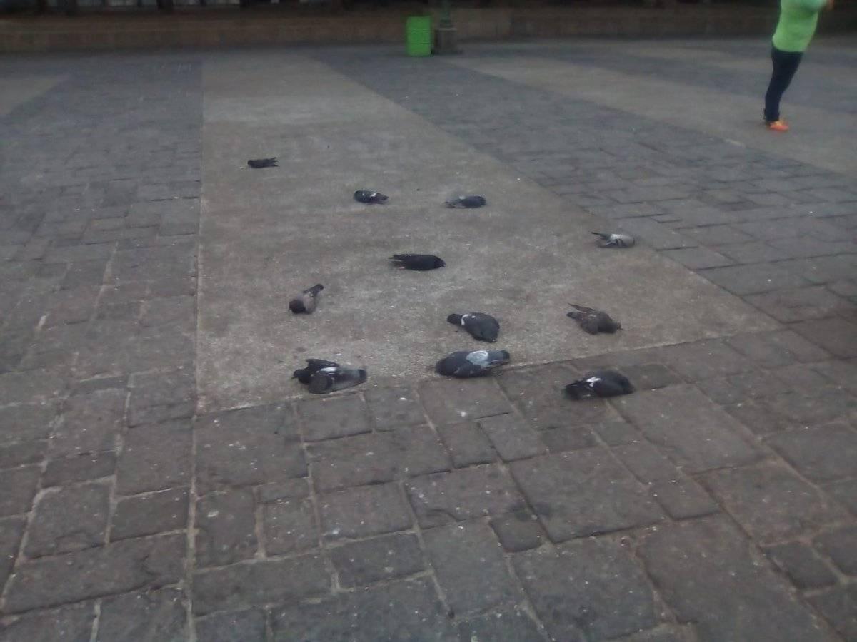 Encuentran palomas muertas en la Plaza de la Constitución. Foto: Municipalidad de Guatemala
