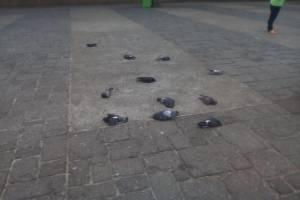 Encuentran palomas muertas en la Plaza de la Constitución.