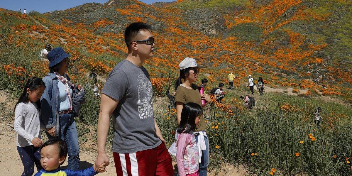 Muchos van a ver campos de amapolas de California