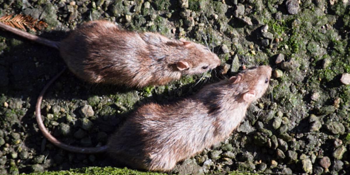 Ratas agresivas y hasta caníbales por falta de comida, alertan en EU