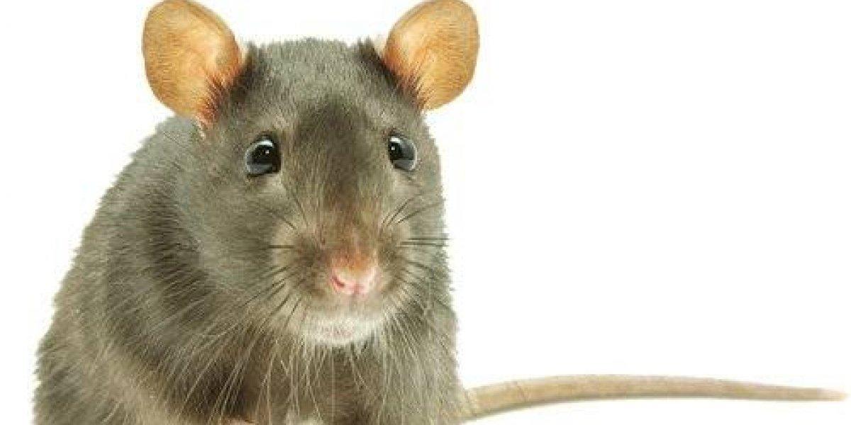 VIRAL: Un ratón ordena el cobertizo de un sujeto y este lo graba para corroborarlo
