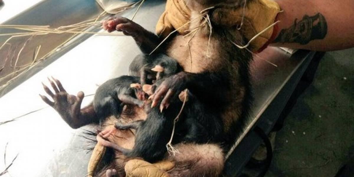 Increíble: encuentran un raro animal en el capó de un carro en Bogotá